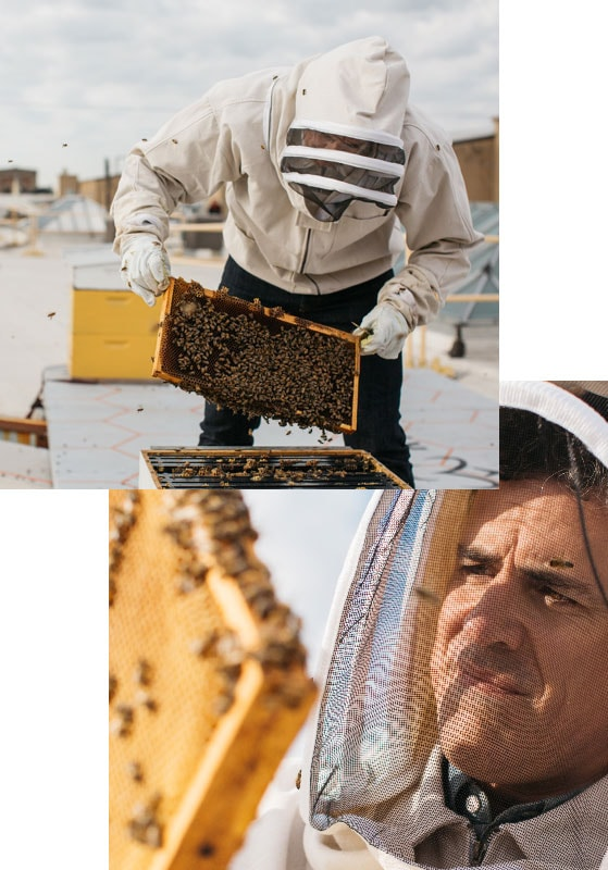 Bee keeper pulling comb from hive and inspecting the comb.